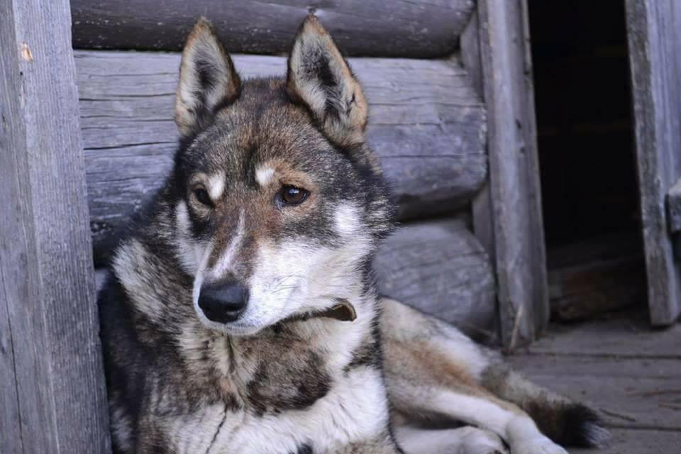 У Карпатах розшукують собаку відомого гірського рятувальника із Осмолоди (фото)