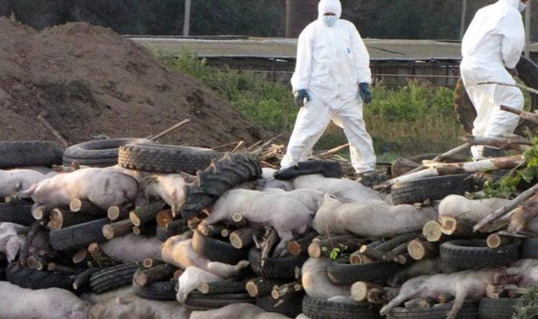 Через спалах африканської чуми на Буковині утилізують більше 20 тисяч свиней (відео)